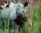 Chitwan National Park is home to the second largest population of greater one-horned rhinoceros
