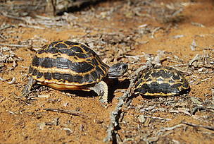 Spider tortoises are endemic to Madagascar
