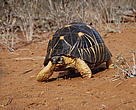 A radiated tortoise in its natural habitat.