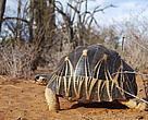 Radiated tortoise in spiny forest near Itampolo, South east Madagascar