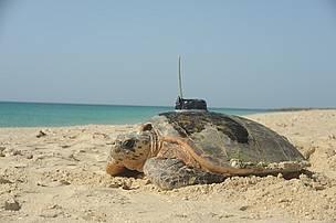 turtle tagging, turtle, hawksbill / ©: EWS-WWF