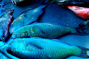 Parrot Fish is one of the many fish species found in the Pacific waters. The Fijians call it Ulavi and it tastes like heaven!