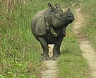 Greater One Horned Rhino, Terai Arc landscape