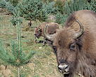 Zimbri din Armeniș sunt monitorizați de rangerii WWF