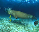Dugong grazing. Palawan, Philippines