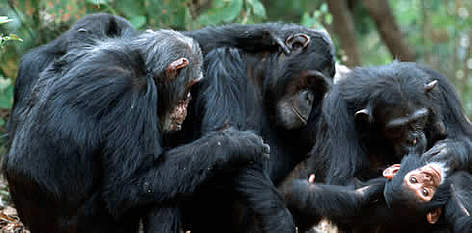 Chimpanzee. Grooming session.  Jane Goodall Institute, Gomb Stream National Park, Gomb, Tanzania. rel=