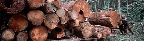 Illegal logging Riau, Sumatra rel=