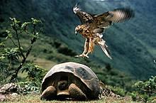 Halcón de Galápagos (Buteo galapagoensis) atacando una tortuga Galápagos(Geochelone nigra). Volcan Alcedo, Isabela Island, Islas Gálapagos