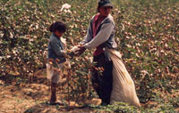 Picking cotton near Piura, Peru. / ©: WWF-Canon / Edward PARKER