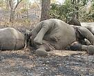 poachers have reduced the population of Africa's forest elephants by 62 percent over the last decade
