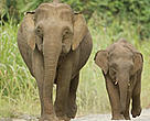 Pygmy elephants on Borneo. Sabah, Malaysia.