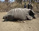 Up to 120 fresh elephant carcasses with their tusks removed were discovered in the northern section of the park. The ivory most likely supplies the Sudanese Ivory markets that service trafficking to Asia.