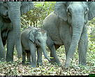 Juvenile and adult Asian elephants photographed by a camera trap in Phnom Prich Wildlife Sanctuary in northeastern Cambodia's Eastern Plains Landscape.