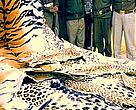 An Uttar Pradesh, India seizure consisted of 70 leopard skins, four tiger skins, black buck skins, 18,000 leopard claws, and 132 tiger claws.