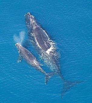 Atlantic northern right whale with calf. / ©: NMFS NOAA