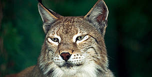 Eurasian lynx (<i>Lynx lynx</i>).