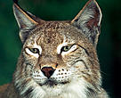Eurasian lynx (&lt;i&gt;Lynx lynx&lt;/i&gt;).
