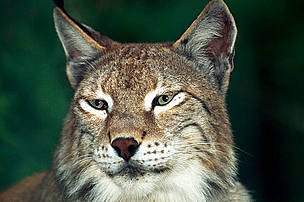Eurasian lynx (Lynx lynx).