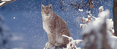 Eurasian lynx. Bayerischer Wald National Park, Germany. rel=