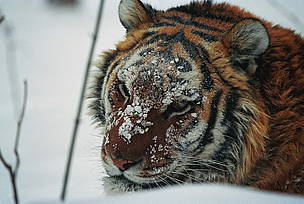 The Amur tiger is the largest of the five remaining tiger species. / &copy;: WWF Russia / Vasilii Solkin