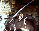 Female saola, Lak Xao, Bolikhamxay Province, Laos, 1996. 