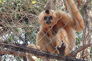 Female Yellow-cheeked Gibbon at Cambodia's Phnom Tamao zoo