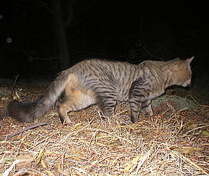 Feral cats pose a major threat to small fauna in Australia, such as the Little Long-tailed Dunnart. / ©: Mike Griffiths / WWF
