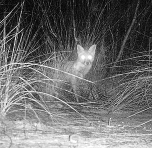 The image of this feral fox was captured from the same camera trap location as the Little ... / ©: Phil Lewis / WWF-Australia