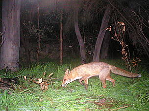 The feral fox was introduced into Australia in the 1800s for sport hunting. Since then it has ... / ©: Mike Griffiths / WWF