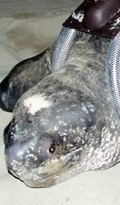 The leatherback turtle named Fermina. Click to view an enlarged picture / ©: WWF-Canon / Carlos Drews
