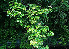 Bright green foliage of the vesi tree. / &copy;: R. DeMeo