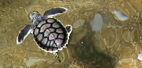 Flatback hatchling. rel=