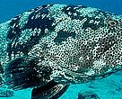 Flowery grouper (Epinephelus fuscoguttatus); Fiji Large flowery groupers often live in small groups in barrier reef passages or near deep reef drop offs.