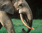 African forest elephant (&lt;i&gt;Loxodonta africana cyclotis&lt;/i&gt;), Dzanga-Ndoki National Park, Central African Republic.