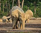 Forest elephants (Loxodonta cyclotis) drinking water in the Dzanga Bai forest clearing.