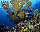 French angelfish (<i>Pomacanthus paru</i>) under Elkhorn coral (<i>Acropora palmata</i>) Cancun, Mexico.
