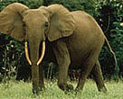 Elephant in Gabon.