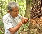 Gabriel Tangoa Tehuayo - socio de Ecomusa, rayando el arbol de la shiringa