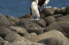Alcatraz Patiazul (Sula nebouxii) en roca. Isla Seymour Norte , Islas Galapagos, Ecuador.