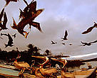 Magnificent Frigatebirds (<i>Fregata magnificens</i>) in flight, and Brown Pelicans (<i>Pelecanus occidentalis</i>) in the harbour. Puerto Ayora, Santa Cruz Island, Galapagos, Ecuador.