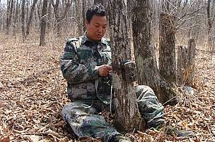 Ranger Gao Dabin fixing camera trap, Amur-Heilong tiger landscape.