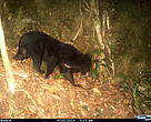 Asiatic black bear in Quang Nam (June 2014)