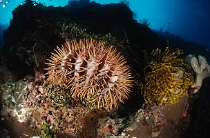 Crown of thorns seastars (<i>Acathaster planci</i>) can occur in plague proportions, eating all live coral in their path, and are drastically reducing the size and viability of Australia's Great Barrier Reef. The Crown-of-thorns are most active in summer and are the only known venomous sea star.