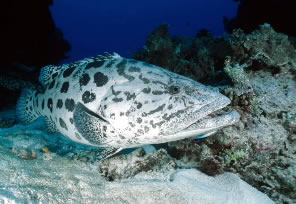 Potato cod (&lt;i&gt;Epinephelus tukula&lt;/i&gt;), Great Barrier Reef Marine Park, Queensland, ... / &copy;: WWF-Canon / Jrgen FREUND