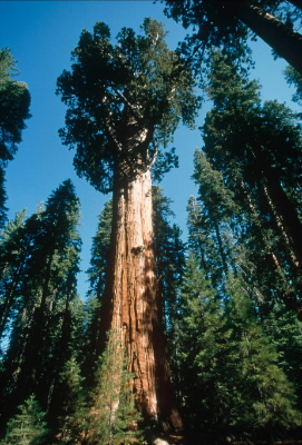 Giant redwood &quot;Gen. Sherman&quot;, the World's largest tree, Sequoia National Park, ... / &copy;: WWF-Canon / Edward PARKER
