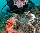 Diver with giant clam.