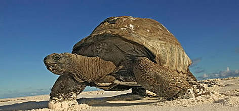 Aldabra giant tortoise (&lt;i&gt;Geochelone gigantea&lt;/i&gt;) walking on the beach, Cousine ... rel=