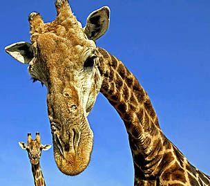 Cape or Southern Giraffe (&lt;i&gt;Giraffa camelopardalis giraffa&lt;/i&gt;). Adult males can be 18 ... / &copy;: WWF-Canon / Martin HARVEY