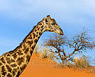 Giraffe (&lt;i&gt;giraffa camelopardalis&lt;/i&gt;), Nambia.