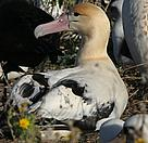 Short-tailed albatross or Steller's albatross, (Phoebastria albatrus). / &copy;: Caleb Slemmons